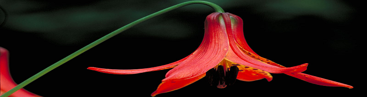 Canadian Lilly